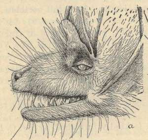 Bat Face Illustration North American Fauna No. 18. 1897.